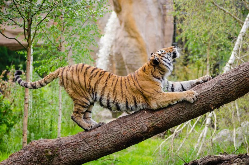 1 tiger stretching over brown trunk during daytime