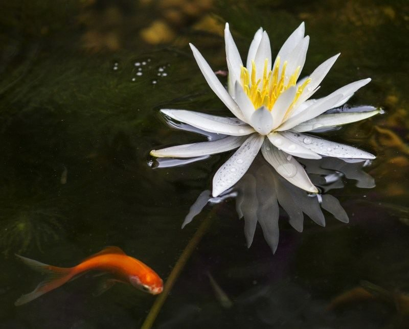 16 Goldfish waterlily flower
