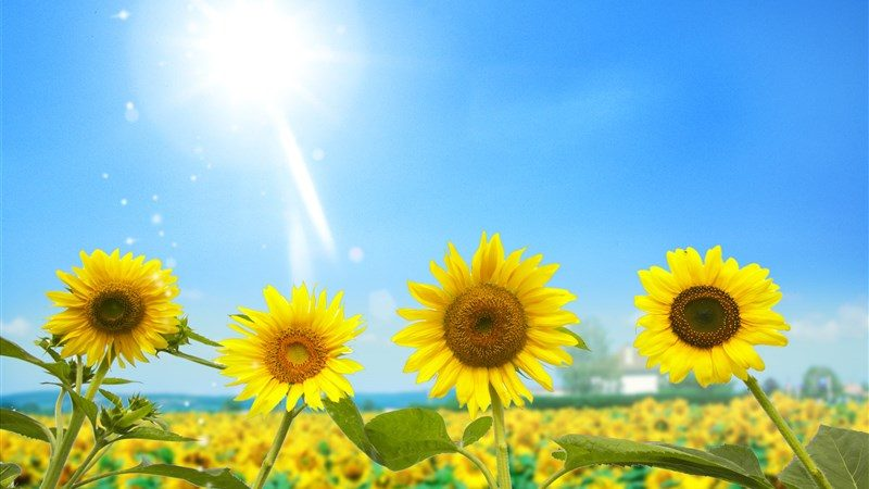 19 amazing sunflowers