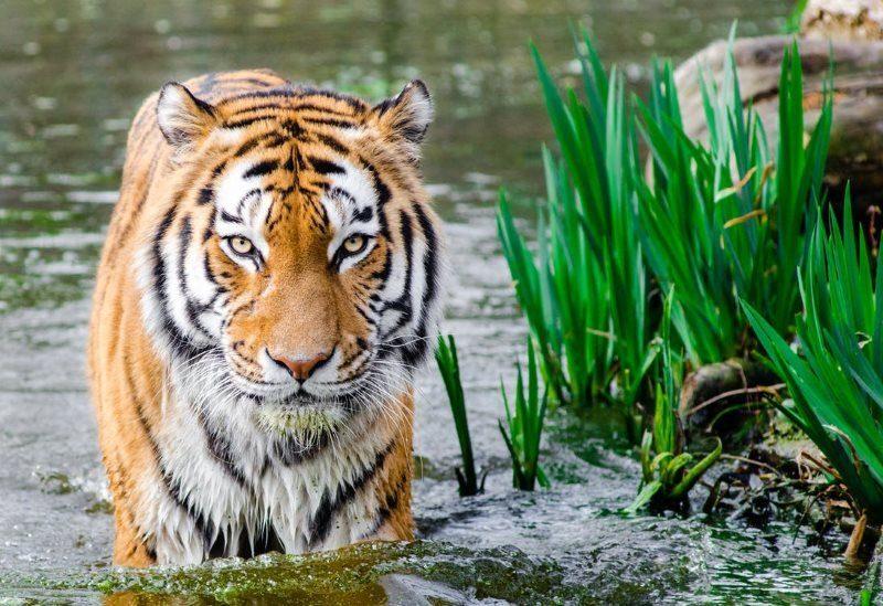2 bengal tiger half soak body on water during daytime