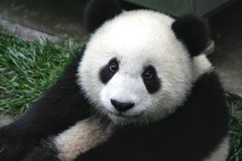 22 panda cub wildlife zoo cute