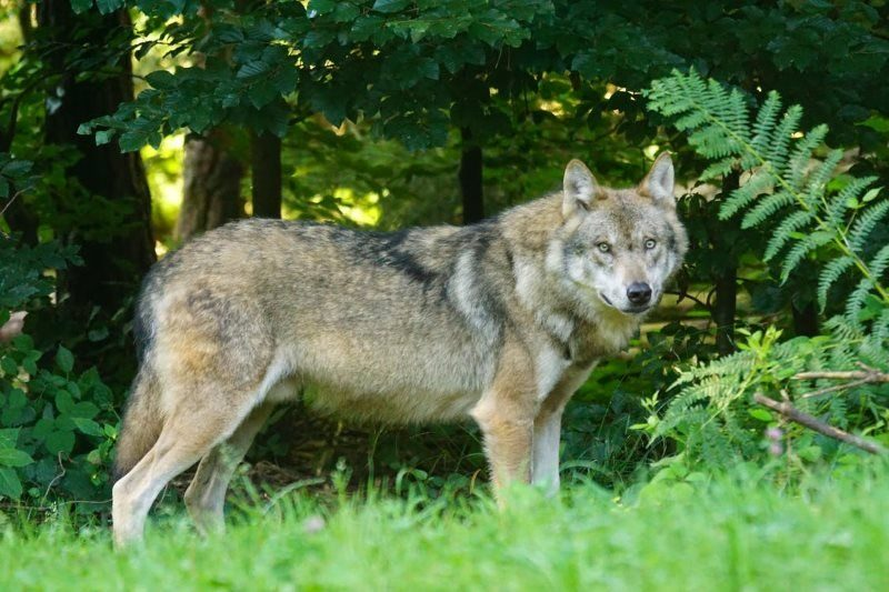 25 brown wolf standing on green grass