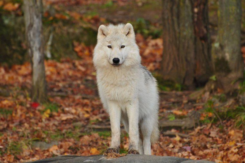 26 white wolf