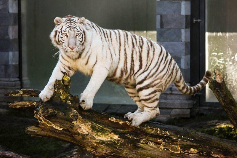 27 white tiger animal