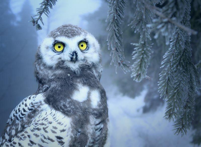 28 owl snow bird forest