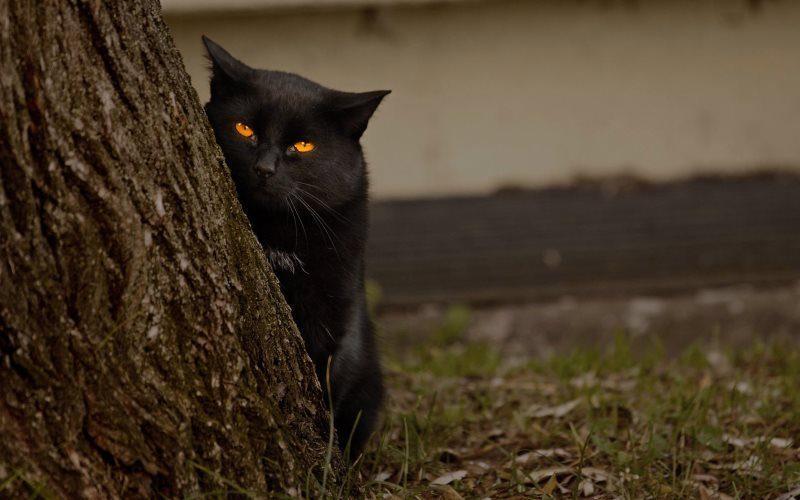 44 black cat