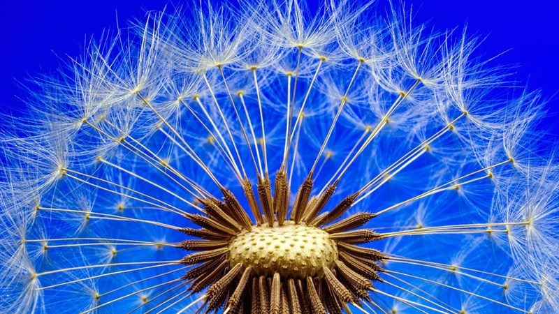 6 nature dandelion macro close flower