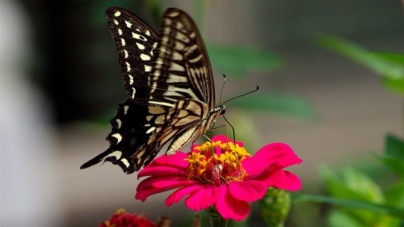 8 flowers outdoors wing swallowtail plants butterfly