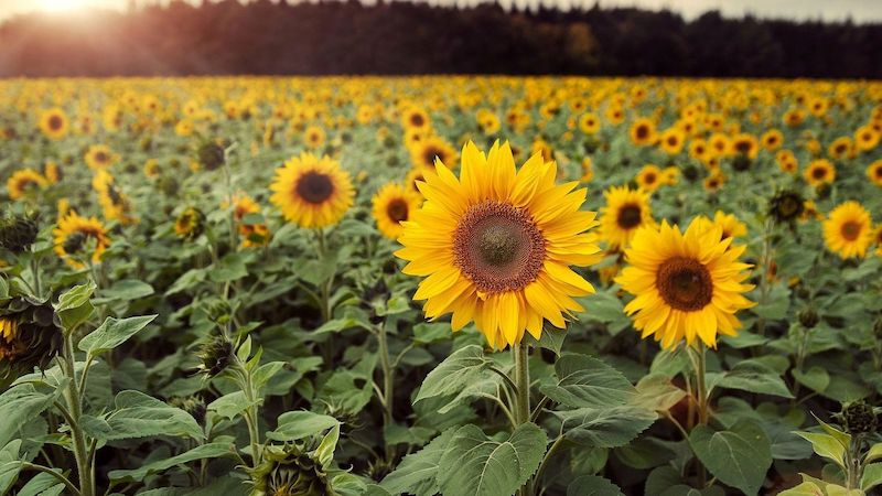 Sunflowers Field in Summer Season