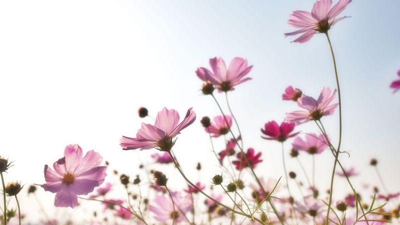 pink flower field in summer season