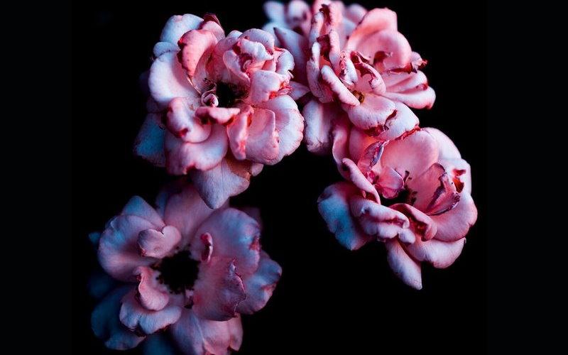 1 pink petaled flower wallpaper
