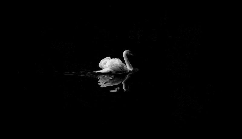2 mute swan in low